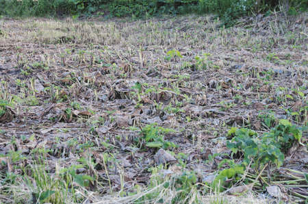 A bevelled field of Arctium commonly known as Burdock.
