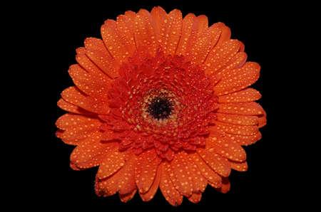Bright orange Gerbera (Transvaal daisy) flower isolated on black background.