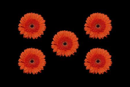 Bright orange Gerbera (Transvaal daisy) flowers isolated on black background.