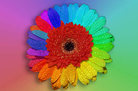 Multi colored Petals of Gerbera Flower