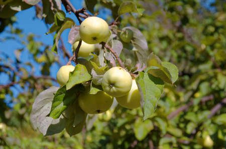 Antonovka apples in the garden.