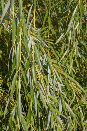 Foliage of basket willow close-up.