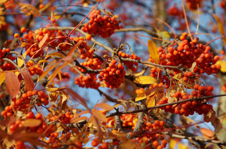 Red rowan at fall season.