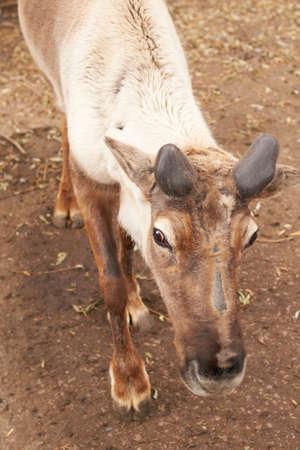 A reindeer at Saransk zoo Stockfoto