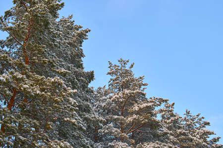 Trees in the forest covered with snow after a snowfall.