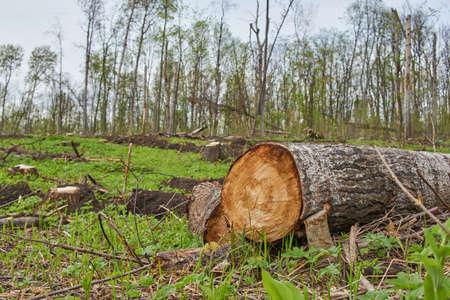 Saw cut birch at felling.