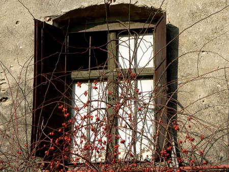 briar bush: window Stock Photo