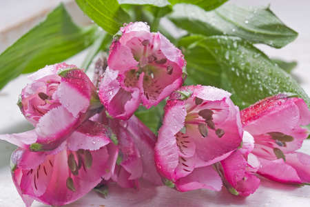 alstromeria: Beautiful spring flower. Known as Peruvian Lily or Alstromeria