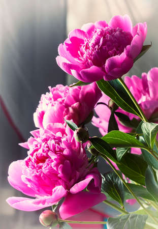 tonal: Pink peonies with drops of water. Tonal processing. Selective focus Stock Photo