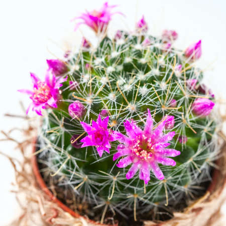 Cactus with blossoms on white background (Mammillaria). Selective focus