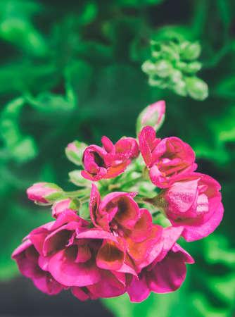 Beautiful geranium, pelargonium. Vintage toned photo with old style tonal filter effect. Stock Photo