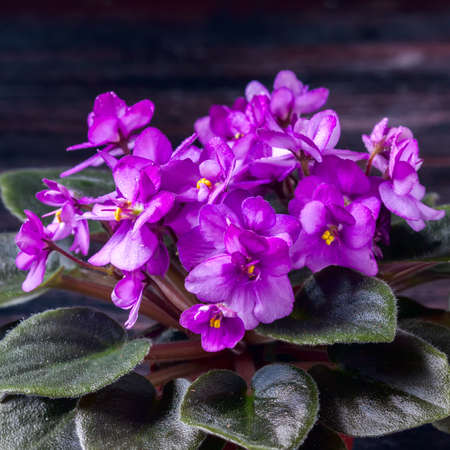 Flowering Saintpaulias, commonly known as African violet. Mini Potted plant. A dark background. Selective focus Stock Photo
