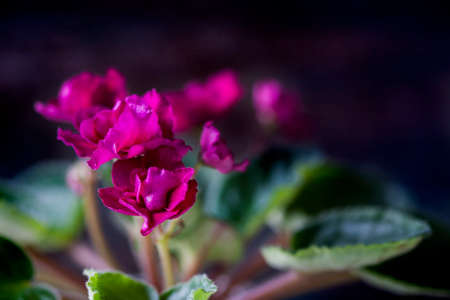 Flowering Saintpaulias, commonly known as African violet. Mini Potted plant. Collectible violet. Selective focus. Macro