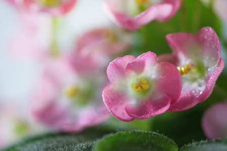 Flowering Saintpaulias, commonly known as African violet. Mini Potted plant.