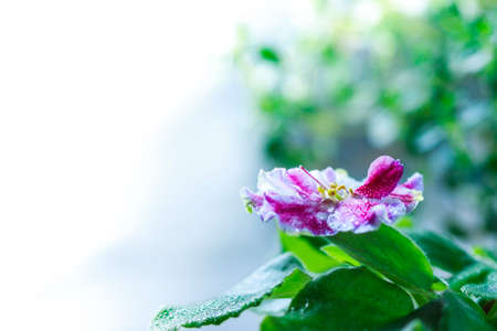 Flowering Saintpaulias, commonly known as African violet. Mini Potted plant. Selective focus Stock Photo
