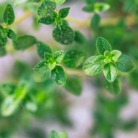 Thyme. Fresh green leaves of organic thyme closeup. Healthy eating. Selective focus.