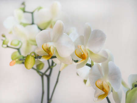 Phalaenopsis orchid. Beautiful flowers macro. Selective focus