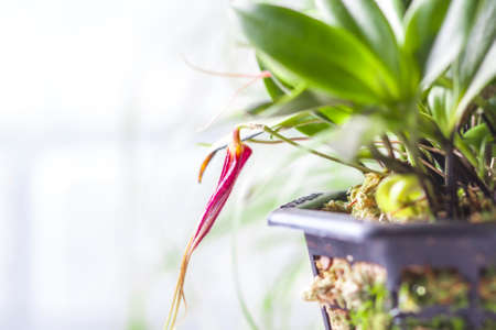 Close-up of Masdevallia orchid in blossom. Selective focus