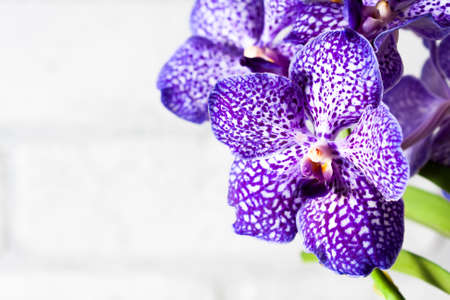Purple orchid wanda close up.Shallow depth of field, soft effect. Spa concept