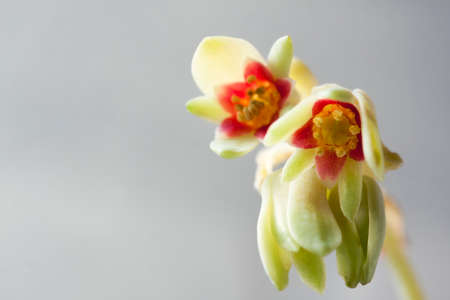 Echeveria Blooming. Beautiful flowering succulent. Macro Selective Focus