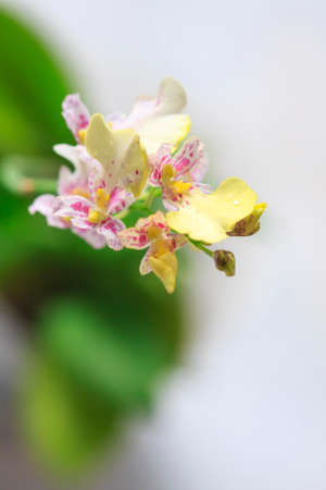 Beautiful closeup of an orchid White Oncidium Twinkle mini orchid. Selective focus
