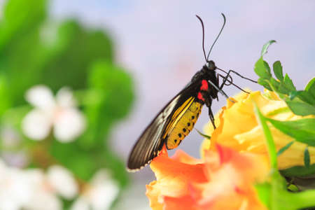 Bright butterfly on roses.