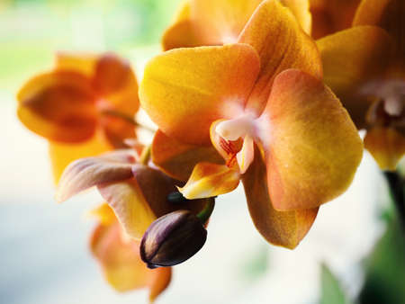 Phalaenopsis. Selective focus, leave space for adding text. Macro