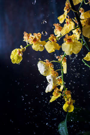 Beautiful yellow Orchid Oncidium with water spray on dark background. Selective focus.