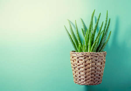 Aloe plant in a pot on a green background. Selective focus, copy space Stock fotó