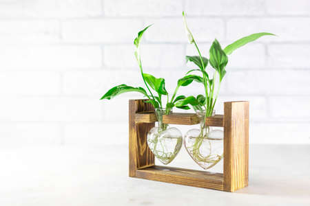 Planting new plants. Cuttings and shoots of spathiphyllum plants standing in water for root growth. Spathiphyllum seedlings at home. Concept of home gardening. Selective focus, copy space