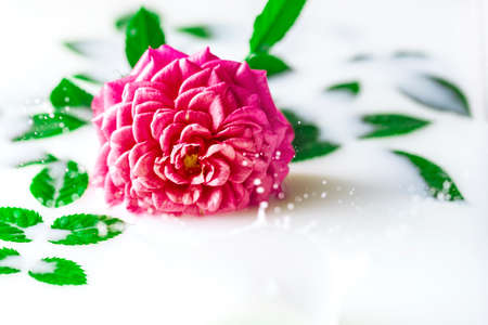 White bath with milk and a rose. Splashing milk. Relaxation and harmony. Spa concept with flowers, relax. Copy space, selective focus.