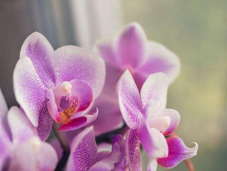 Phalaenopsis orchid. The indoor plants on the windowsill. Imagens