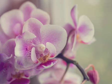 Phalaenopsis orchid. The indoor plants on the windowsill.