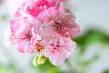 Close up Geranium or pelargonium flowers. Copy space, selective focus