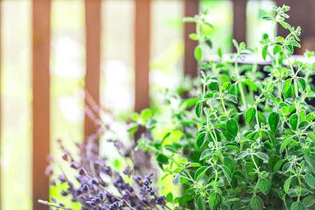Green oregano plant, closeup. Aromatic herbs in pots. Set of culinary herbs, oregano with lavender. Alternative medicine. Selective focus