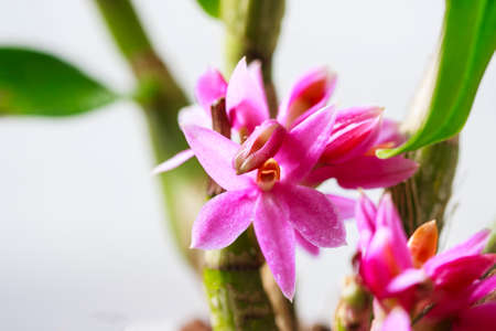 Beautiful orchid flowers Dendrobium, a species of Hibiki. Tropical orchids in full bloom. Selective focus 版權商用圖片