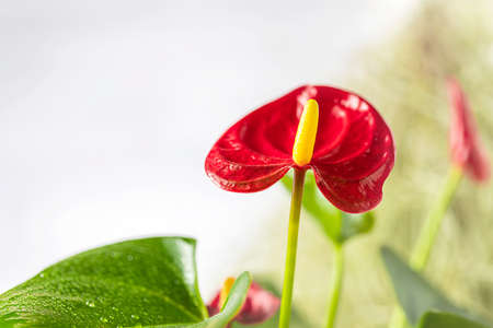 House plant red Anthurium in a pot on a wooden table. Anthurium andreanum. Flower Flamingo flowers or Anthurium andraeanum symbolize hospitality
