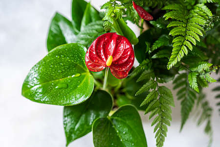 House plant red Anthurium in a pot on a wooden table. Anthurium andreanum. Flower Flamingo flowers or Anthurium andraeanum symbolize hospitality Stock Photo