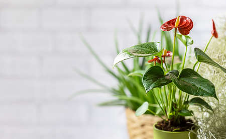 House plant red Anthurium in a pot on a wooden table. Anthurium andreanum. Flower Flamingo flowers or Anthurium andraeanum symbolize hospitality. Stock Photo