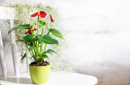 House plant red Anthurium in a pot on a wooden table. Anthurium andreanum. Flower Flamingo flowers or Anthurium andraeanum symbolize hospitality.