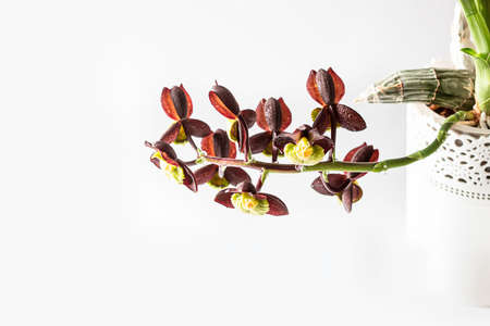 Orchid. Catasetum hybrid on white background. Catasetum tenebrosum. A photo of a stunning almost black orchid hybrid. Selective focus