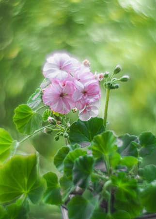 Bokeh swirled by the Helios lens around a pink geranium flowers. Geranium Peltatum. Geranium essential oil.