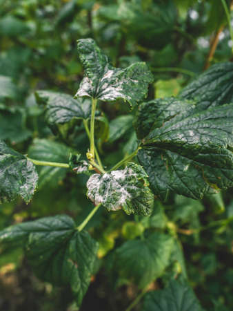 Black currant diseases. Diseases and pests of berry bushes. Curled currant leaf from fungal disease or aphids. Downy Mildew. Selective focus Banque d'images