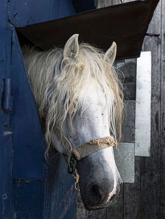 White horse in the stable. Horse in stable looking outside.