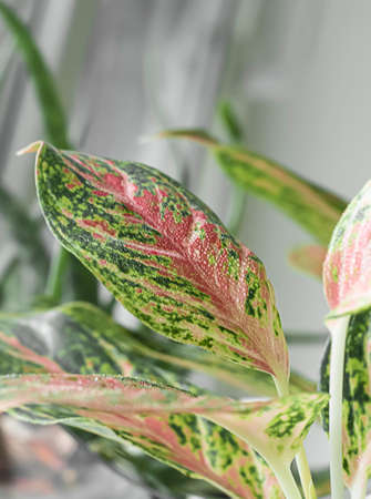 Aglaonema pink spotted star plant. Beautiful Aglaonema plants. House decor. Banque d'images