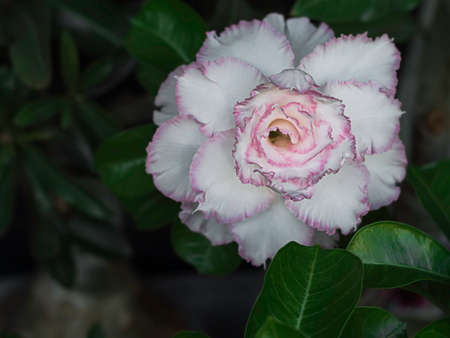 White desert rose, other names adenium obesum. Blooming white adenium, obesum, desert rose, flowers surrounded by green leaf with blurred background. Selective focus