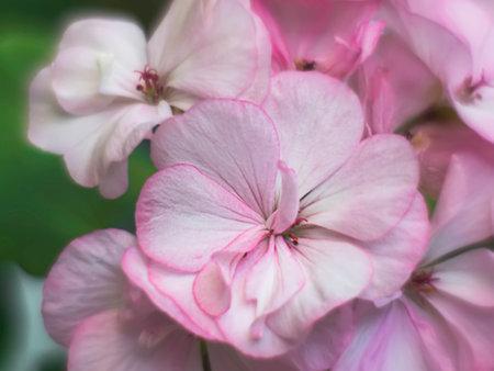 Close up of the pink pelargonium. Pink flower of Geranium, Pelargonium. Sunlight.