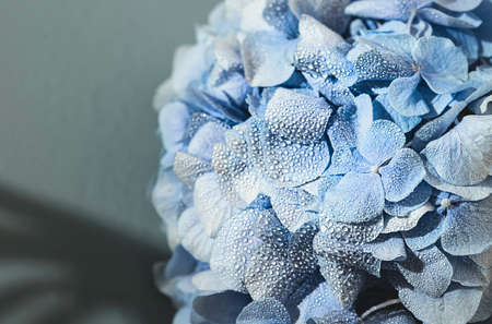 Blue hydrangea with with water dew on petals or after rain. Macro photo. Selective focus