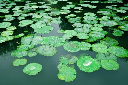 duckweed: Lily pads on the surface of a pond.