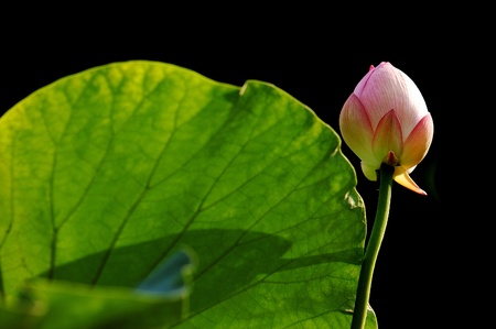 Beautiful lotus grows in the south of China. photo